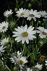 Avalanche African Daisy (Osteospermum 'Avalanche') at Wagner Nursery & Landscape