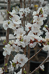 Moongold Apricot (Prunus 'Moongold') at Wagner Nursery & Landscape