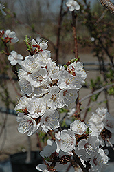 Sungold Apricot (Prunus 'Sungold') at Wagner Nursery & Landscape