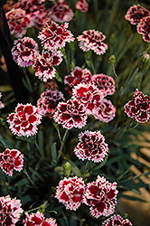 EverLast™ Lilac plus Eye Pinks (Dianthus 'EverLast Lilac Plus Eye') at Wagner Nursery & Landscape