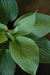 Empress Wu Hosta (Hosta 'Empress Wu') at Wagner Nursery & Landscape
