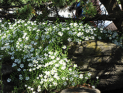 Mountain Sandwort (Arenaria montana) at Wagner Nursery & Landscape
