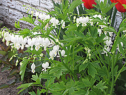 White Bleeding Heart (Dicentra spectabilis 'Alba') at Wagner Nursery & Landscape