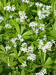 Sweet Woodruff (Galium odoratum) at Wagner Nursery & Landscape