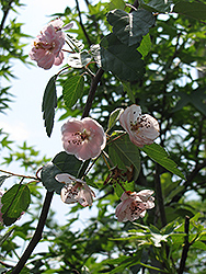 Klehm's Improved Bechtel Flowering Crab (Malus ioensis 'Klehm's Improved Bechtel') at Wagner Nursery & Landscape