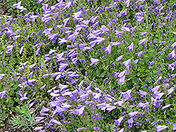Birch Hybrid Bellflower (Campanula 'Birch Hybrid') at Wagner Nursery & Landscape