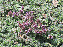 Wooly Thyme (Thymus pseudolanuginosis) at Wagner Nursery & Landscape