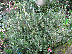 Tuscan Blue Rosemary (Rosmarinus officinalis 'Tuscan Blue') at Wagner Nursery & Landscape