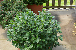 Low Scape® Mound Aronia (Aronia melanocarpa 'UCONNAM165') at Wagner Nursery & Landscape