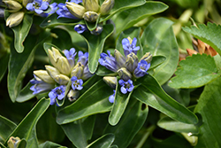 Blue Cross Gentian (Gentiana cruciata 'Blue Cross') at Wagner Nursery & Landscape