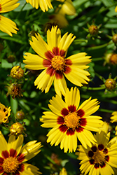 Sunkiss Tickseed (Coreopsis grandiflora 'Sunkiss') at Wagner Nursery & Landscape