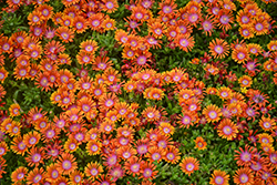Fire Spinner Ice Plant (Delosperma 'Fire Spinner') at Wagner Nursery & Landscape