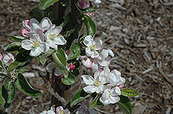 Zestar Apple (Malus 'Zestar') at Wagner Nursery & Landscape