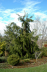 Calvary Upright Norway Spruce (Picea abies 'Calvary Upright') at Wagner Nursery & Landscape