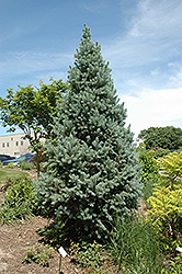Upright Colorado Spruce (Picea pungens 'Fastigiata') at Wagner Nursery & Landscape
