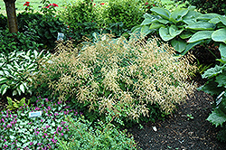 Misty Lace Goatsbeard (Aruncus 'Misty Lace') at Wagner Nursery & Landscape