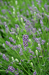 Essence Purple Lavender (Lavandula angustifolia 'Essence Purple') at Wagner Nursery & Landscape