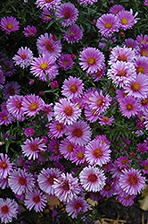 Purple Dome Aster (Aster novae-angliae 'Purple Dome') at Wagner Nursery & Landscape