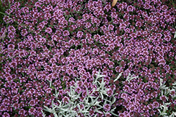 Pink Chintz Creeping Thyme (Thymus praecox 'Pink Chintz') at Wagner Nursery & Landscape