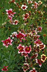 Berry Chiffon Tickseed (Coreopsis 'Berry Chiffon') at Wagner Nursery & Landscape