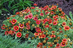 Arizona Red Shades Blanket Flower (Gaillardia x grandiflora 'Arizona Red Shades') at Wagner Nursery & Landscape