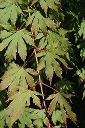North Wind Japanese Maple (Acer 'IsINW') at Wagner Nursery & Landscape