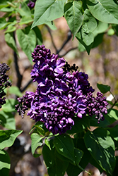 Agincourt Beauty Lilac (Syringa vulgaris 'Agincourt Beauty') at Wagner Nursery & Landscape