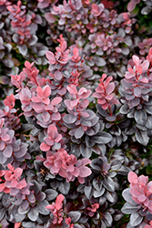 Concorde Japanese Barberry (Berberis thunbergii 'Concorde') at Wagner Nursery & Landscape