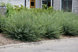 Creeping Arctic Willow (Salix purpurea 'Nana') at Wagner Nursery & Landscape
