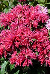 Cherry Pops Beebalm (Monarda 'Cherry Pops') at Wagner Nursery & Landscape