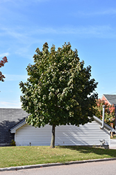 Fairview Norway Maple (Acer platanoides 'Fairview') at Wagner Nursery & Landscape