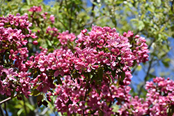Thunderchild Flowering Crab (Malus 'Thunderchild') at Wagner Nursery & Landscape