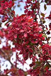 Royalty Flowering Crab (Malus 'Royalty') at Wagner Nursery & Landscape