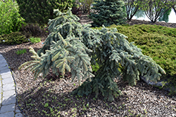 Weeping Blue Spruce (Picea pungens 'Pendula') at Wagner Nursery & Landscape