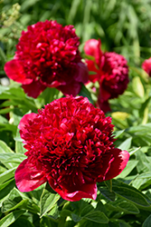 Red Charm Peony (Paeonia 'Red Charm') at Wagner Nursery & Landscape