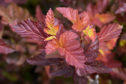Center Glow Ninebark (Physocarpus opulifolius 'Center Glow') at Wagner Nursery & Landscape
