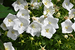 White Clips Bellflower (Campanula carpatica 'White Clips') at Wagner Nursery & Landscape