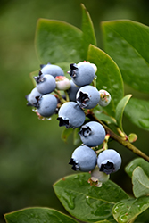 Northblue Blueberry (Vaccinium 'Northblue') at Wagner Nursery & Landscape