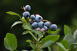 Northland Blueberry (Vaccinium corymbosum 'Northland') at Wagner Nursery & Landscape