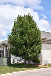 Patmore Green Ash (Fraxinus pennsylvanica 'Patmore') at Wagner Nursery & Landscape