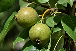 Golden Spice Pear (Pyrus ussuriensis 'Golden Spice') at Wagner Nursery & Landscape