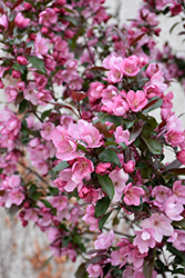 Gladiator™ Flowering Crab (Malus 'DurLeo') at Wagner Nursery & Landscape