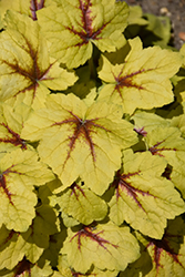 Catching Fire Foamy Bells (Heucherella 'Catching Fire') at Wagner Nursery & Landscape