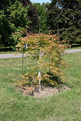 Ice Dragon™ Maple (Acer 'IsliD') at Wagner Nursery & Landscape